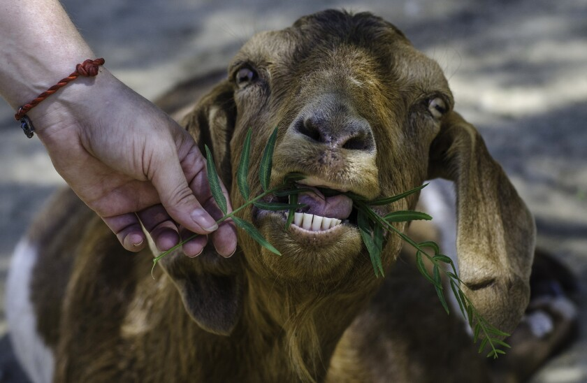 A rescued goat receives a treat from a visitor at The Gentle Barn farm north of Los Angeles near Santa Clarita, California.