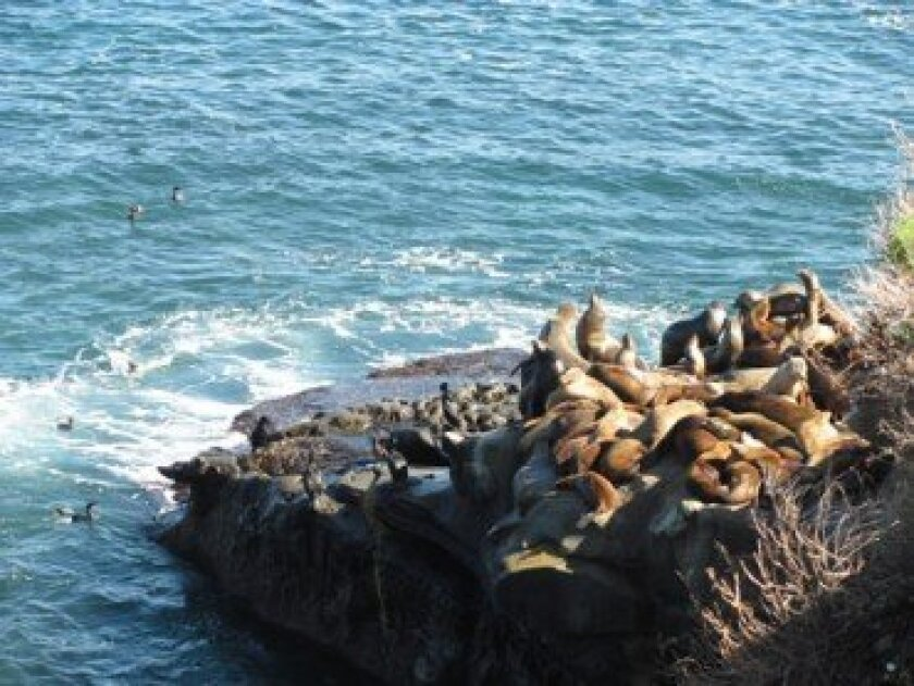The sea lion excrement problem is a relatively new one, said Bill Harris of the city's Transportation and Storm Water Department. The sea lion populations have significantly increased in the past two years; they didn't start frequenting the Cove until recently.  FILE