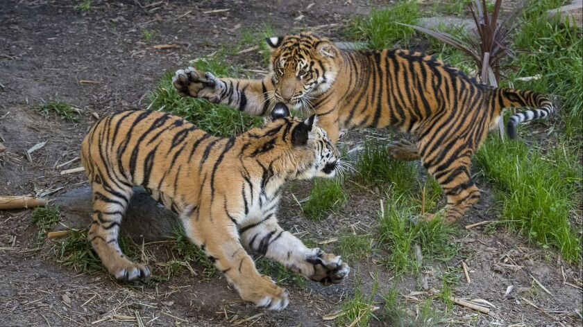 Bengal tiger cub Moka recovered from emergency surgery, has reunited with best friend Rakan at the San Diego Zoo Safari Park. In this photo, taken March 29, Moka is closest to the camera.