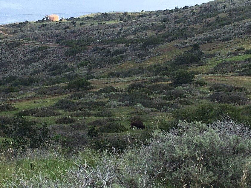 Visitors who hike around Catalina Island may site buffalo on the hillsides.