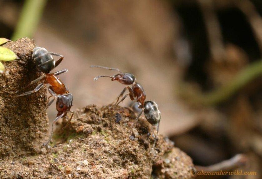 Velvety tree ants / photo by Alex Wild * myrmecos.net
