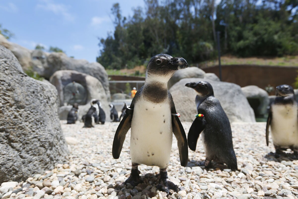 SAN DIEGO, CA- JUNE 22, 2017 - African penguins walk around the new Cape Fynbos habitat in the soon-to-open Conrad Prebys Africa Rocks exhibit at the San Diego Zoo. Africa Rocks opens on July 1st. (Photo by K.C. Alfred/The San Diego Union-Tribune)