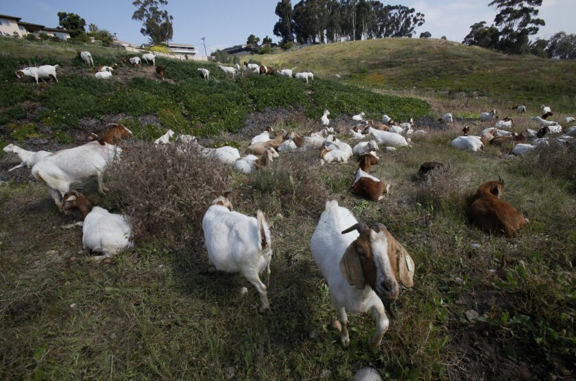 Goats, by the score, eat their way this week across a hillside in the Fletcher Hills area of El Cajon.