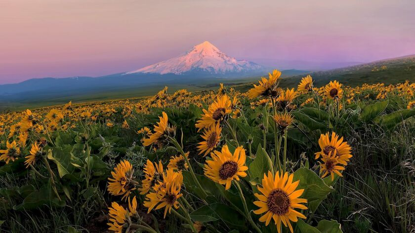 Mount Hood and Wildflowers in Spring