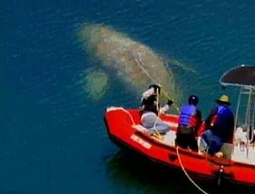 Rescuers try to untangle a rope wrapped around a whale in Dana Point Harbor on Wednesday, May 12, 2010.