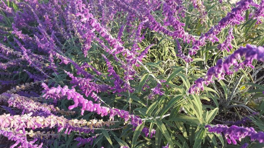 The lovely purple inflorescences of the sprawling Mexican bush sage.