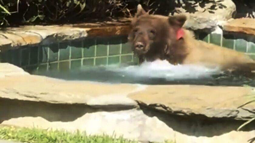 This Friday, June 29, 2018, image made from video released by Mark Hough shows a bear in a hot tub i