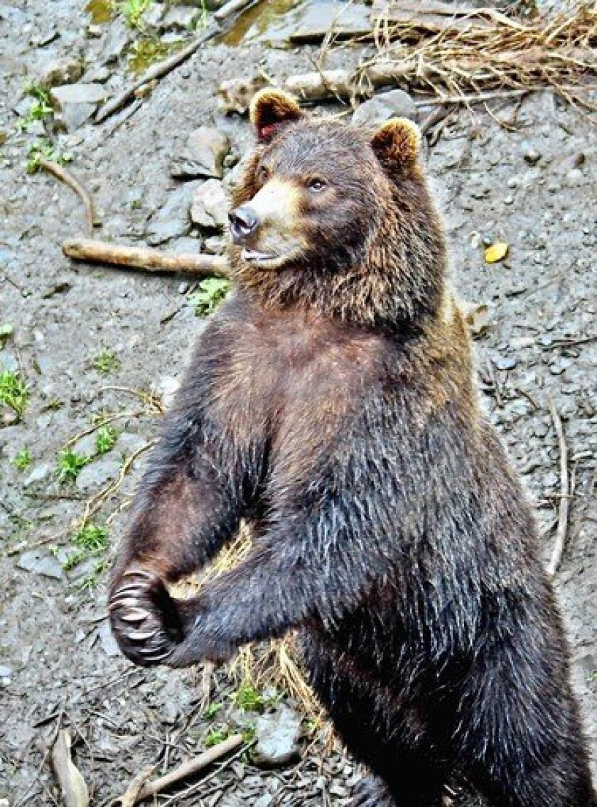 Tobi lives at the Fortress of the Bear rescue center in Sitka, Alaska.