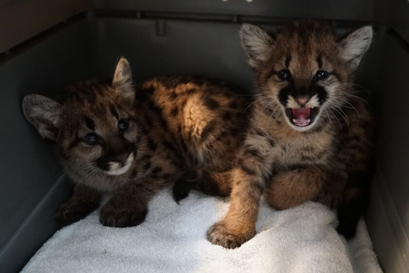 The Oakland Zoo is caring for two mountain lion cubs orphaned by the Zogg fire in Shasta County.
