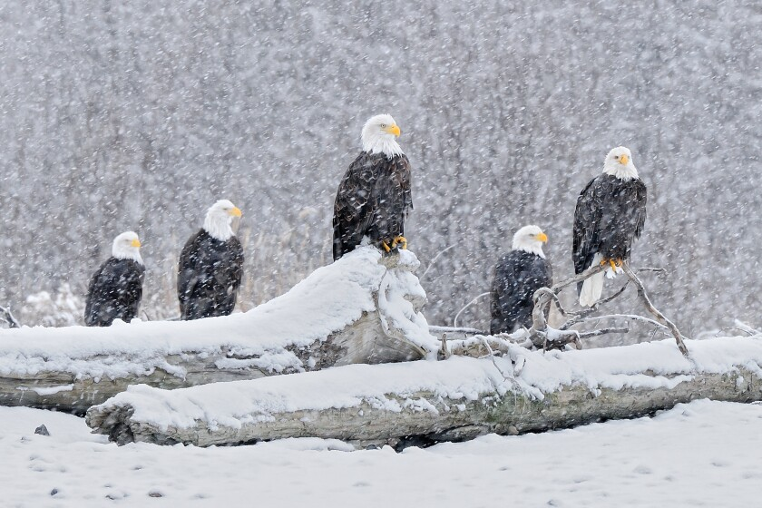 You can count eagles or merely try to spy them while enjoying a month-long festival in Brackendale, Canada.
