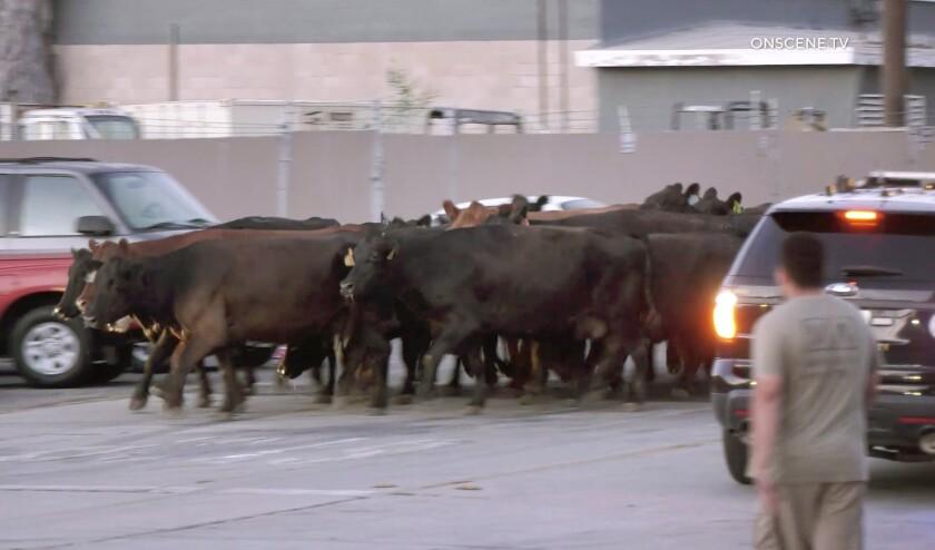 Cattle roam a street.