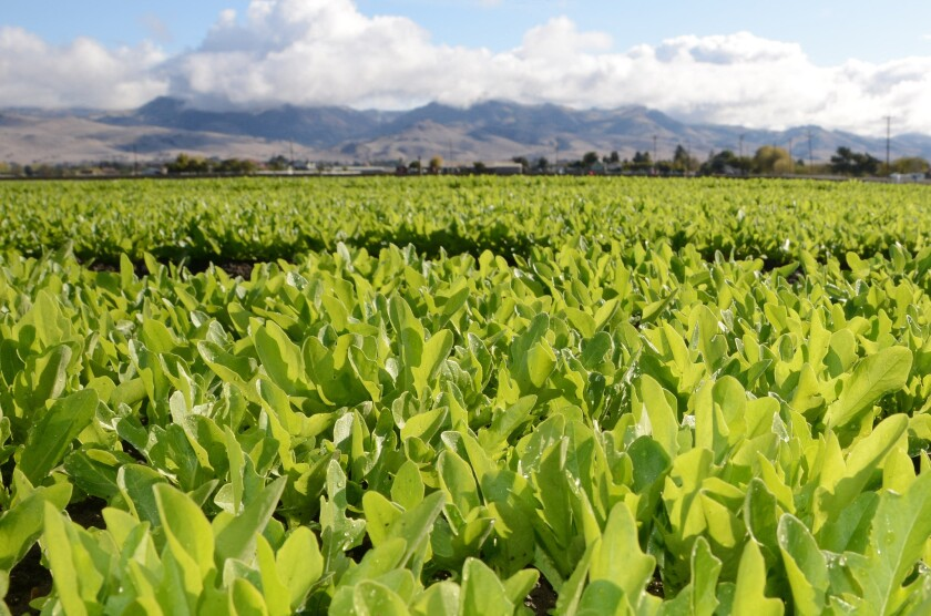 Lettuce fields in California's Salinas Valley are shown. A warmer-than-usual winter has led to an earlier-than-usual harvest.