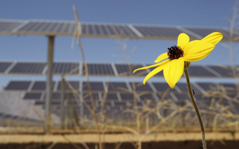 An ant climbs up the stem of a desert flower that's growing under solar panels at the new Solar Generating Station in Borrego Springs on Friday.