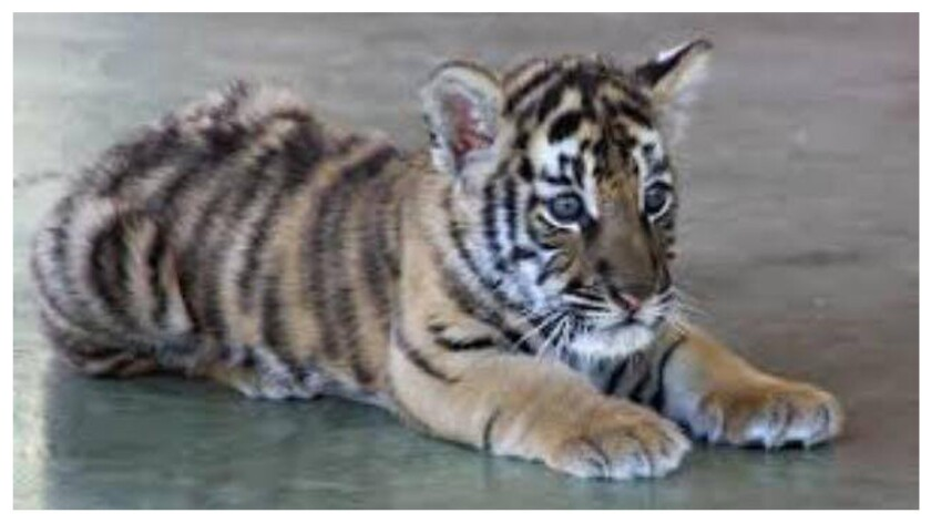 A 3-month-old tiger cub found wandering in Hemet has a new home: the Lions Tigers & Bears sanctuary in Alpine east of San Diego. He's doing well, the sanctuary says.