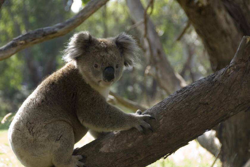 Researchers suspect that koalas aren't the only animals that hug trees to cool down.