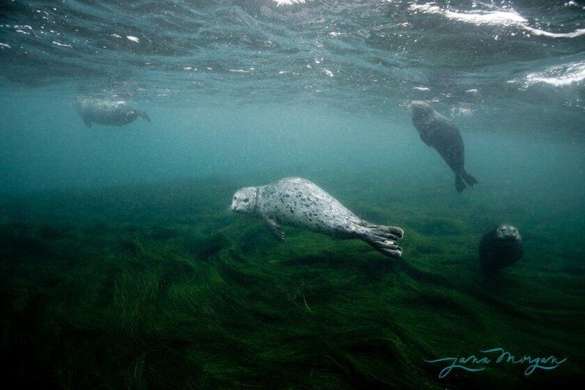 Seals swim near the Children's Pool in La Jolla.