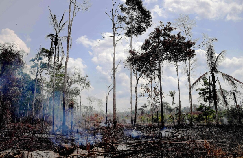 Burnt trees still standing in the Amazon rainforest