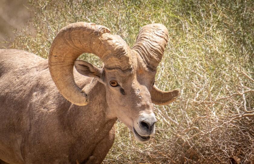 A big horn ram in Anza-Borrego Desert State Park.