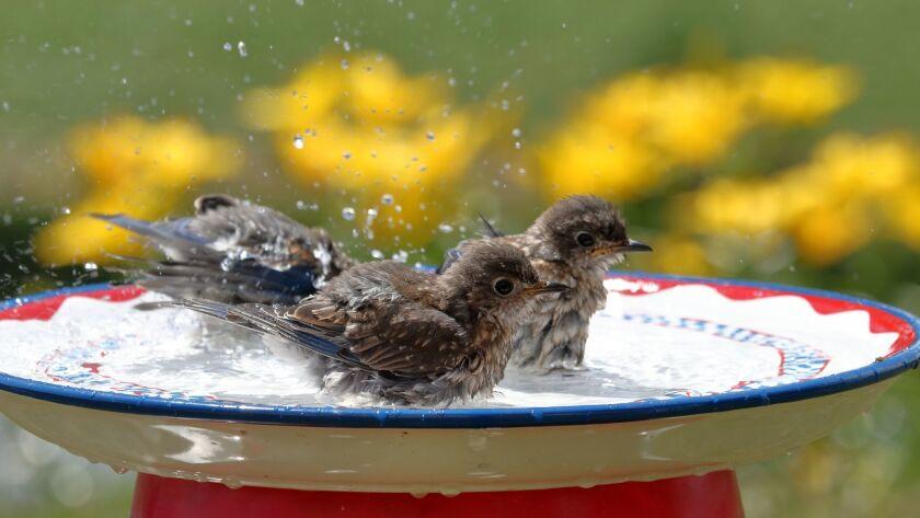 Bluebirds in the Bird Bath