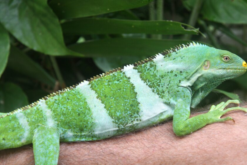 A new species of crested iguana from a small 100 acre island in central Fiji, which researchers are trying to purchase for $2 million for conservation. They believe only a few hundred of these iguanas remain. Photo courtesy of Robert Fisher, U.S. Geological Survey