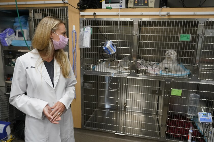 """Dr. Katarzyna Ferry, left, looks over at dog named Wendy who is being treated for a flare-up of Addison's disease, Monday, April 12, 2021, at the Veterinary Specialty Hospital of Palm Beach Gardens in Palm Beach Gardens, Fla. Forced to stay at home due to the pandemic, Americans adopted nearly 12 million pets last year meaning the average vet clinic saw nearly 400 new patients last year. Veterinarian offices across the country are experiencing unprecedented demand, adding extra staff and extending hours to fill in the gaps. """"We are still short staffed despite active seeking of additional staff,"""" said Ferry. (AP Photo/Wilfredo Lee)"""