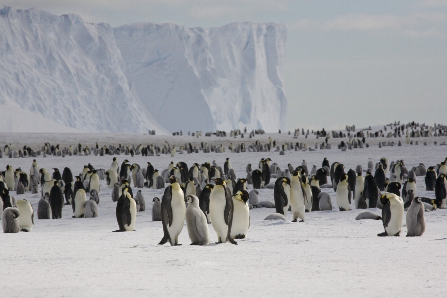 Scientists studying huddles of emperor penguins in Antarctica have discovered that waves of movement travel though huddled masses of flightless birds rather as they do through cars stuck on the 405 Freeway during rush hour - but in ways that maximize the huddle's density and keep the birds warm as they incubate their eggs. MORE