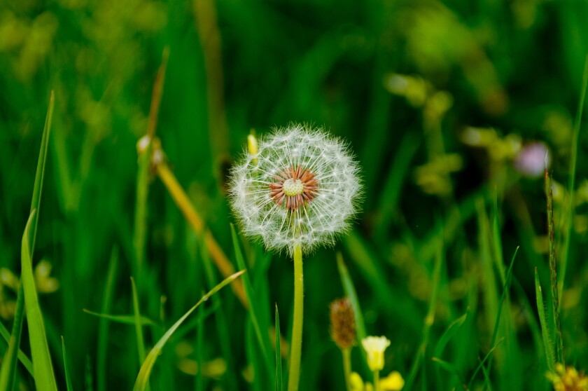 Want to rid your garden of dandelions?