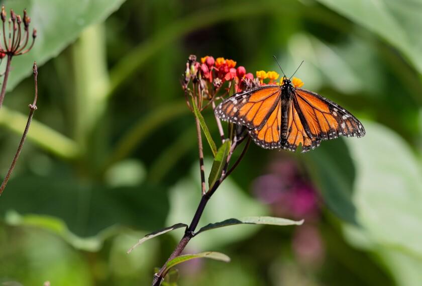 Una mariposa monarca se sienta en una flor de algodoncillo en el patio trasero de Terry Meaney