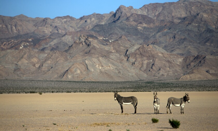 Wild burros on a dry lake bed in the Silurian Valley in October 2014. Since May 2019, a total of 42 wild burro carcasses with gunshot wounds have been found along the Interstate 15 corridor between Halloran Springs, Calif., and Primm, Nev., in various states of decomposition.