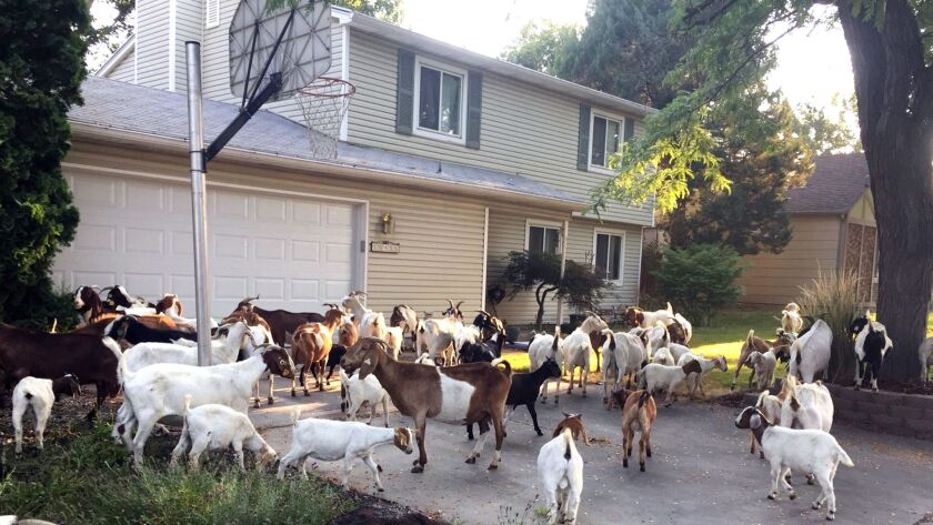 About 100 escaped goats munched on grass and shrubs in a Boise, Idaho, neighborhood on Aug. 3.