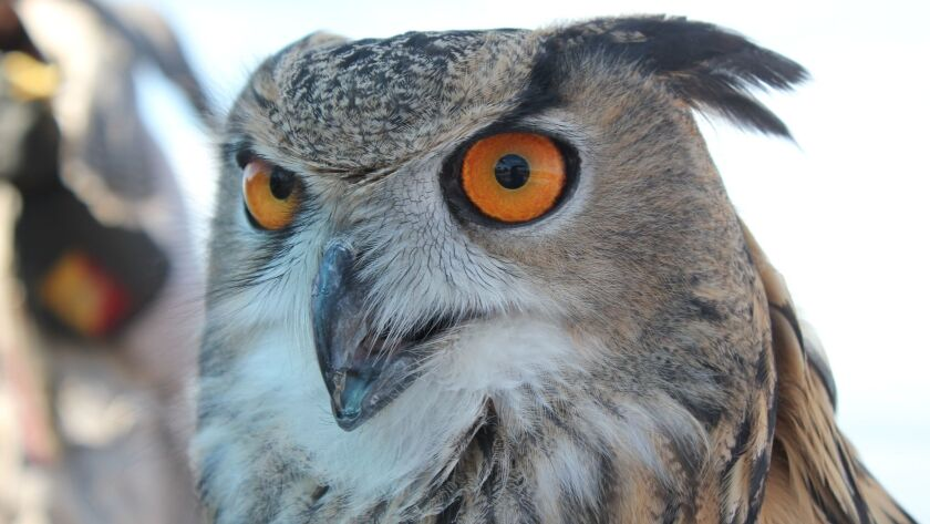 Henton (Eurasian Eagle Owl, 2 years old, 6 pounds). His life expectancy in captivity is 60 years.