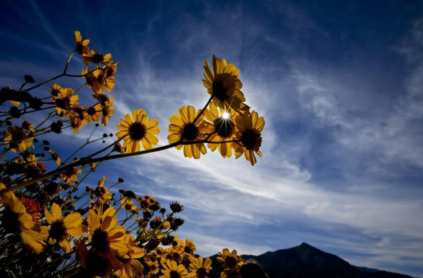 Desert sunflowers in Death Valley National Park.
