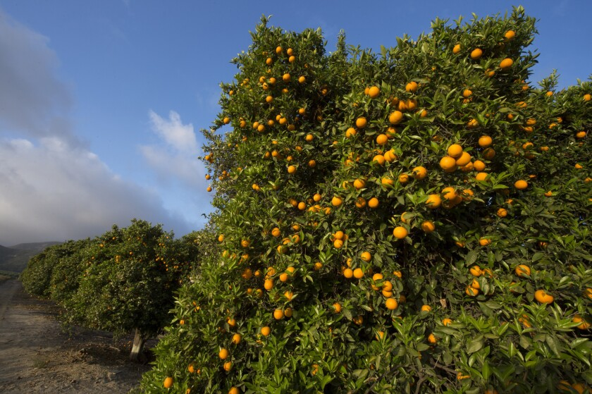Valencia orange grove in Fillmore, a leading growing area for the variety.
