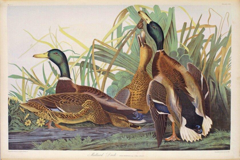 Illustration of mallard ducks by John James Audubon.