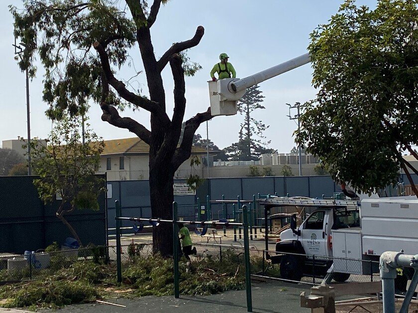 On Tuesday morning, Nov. 12, a 50-foot eucalyptus tree that has apparently provided shade to the La Jolla Recreation Center playground for decades, was removed by workers from San Diego Tree Care.