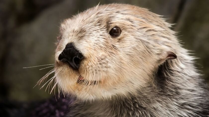 Teens can feed sea otters like this one and also learn about caring for seals and sea lions in the A