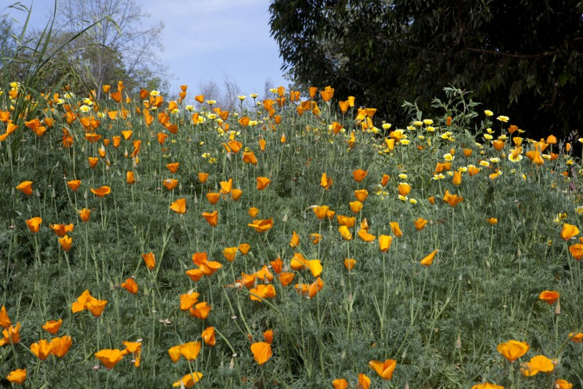 Orange poppies and yellow tidy tips are two of the wildflowers blooming at the Los Angeles County Arboretum.
