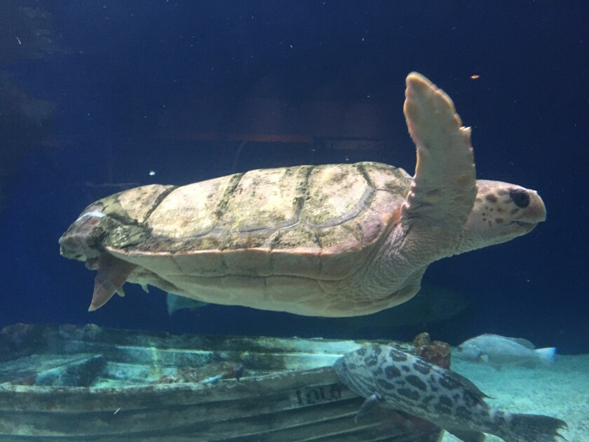 A rescued loggerhead sea turtle at Birch Aquarium celebrates her fifth anniversary at the site Jan. 11 and 12. The turtle received a 3D printed implant to replace a missing piece at the rear of her shell.