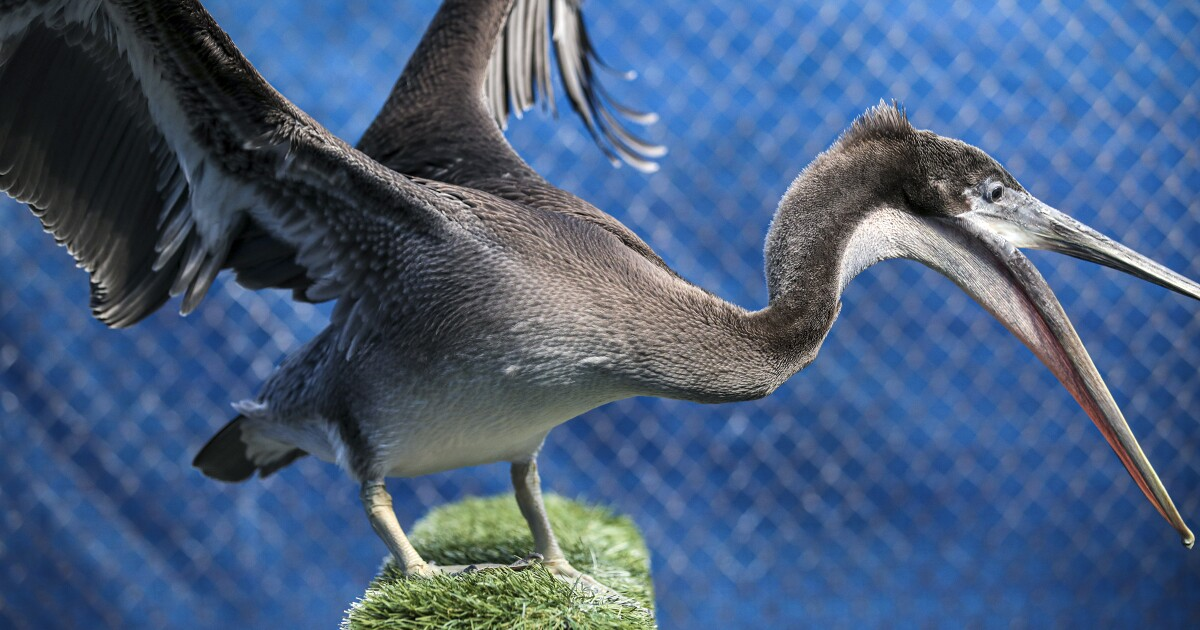 Severe wing fractures in pelicans raise fears of a human culprit