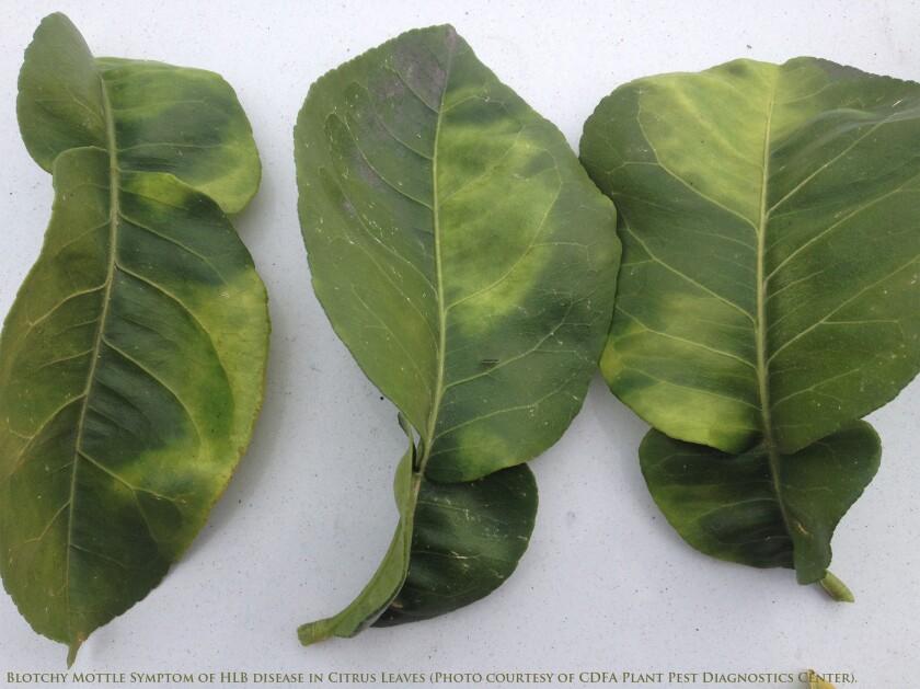 Symptoms of citrus greening disease
