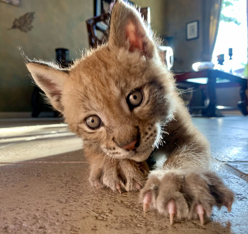 Tashi, a Eurasian lynx cub at Wild Wonders
