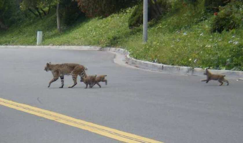 "Mother bobcat ""Babe"" crosses Santiago Drive in Newport Beach with her three new cubs in tow."