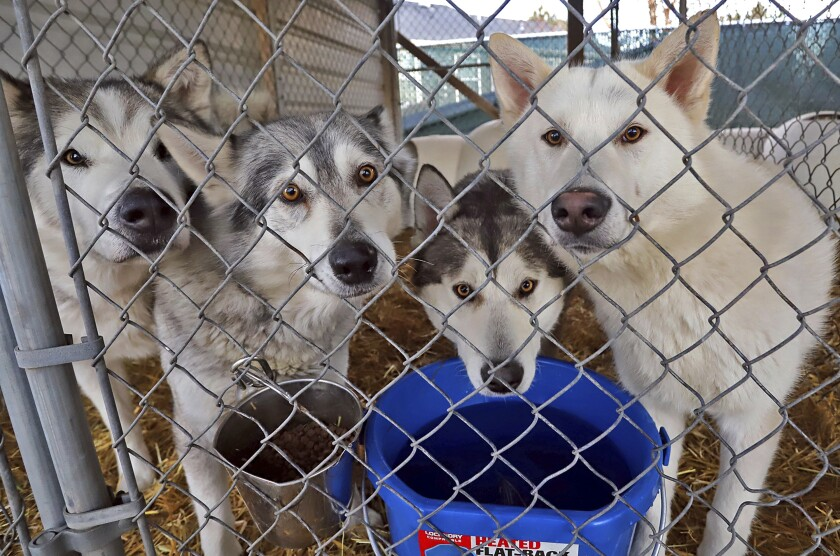 Montana shelter caring for 39 huskies found roaming wild