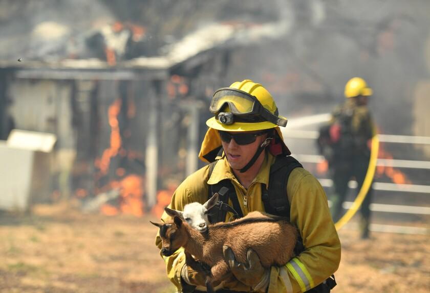 Un bombero rescata una cabra de una casa en llamas en Bonham Road, cerca de Lower Lake, en California, el 14 de agosto de 2016. (AP Foto/Josh Edelson)