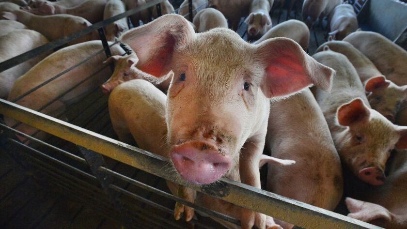 It takes much more land to produce edible protein from pigs, cattle and chickens than it does to grow it from plants, according to new research.