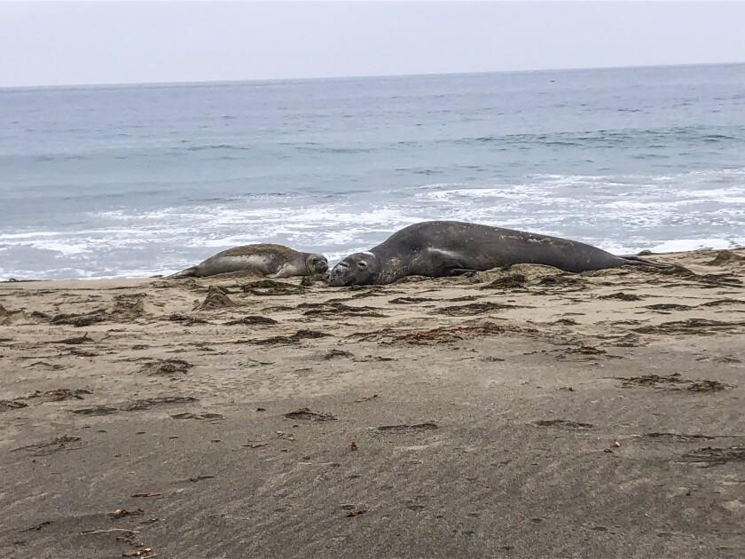 Two elephant seals look like huge lumps on a beach.