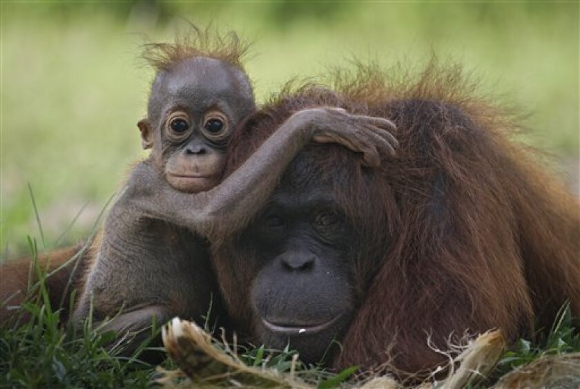 In this Sunday, Jan. 9, 2011 photo, a baby orangutan clings onto its mother at a release site in Tanjung Hanau, Central Kalimantan, Indonesia. A half-century ago, more than three-quarters of Indonesia, a sprawling archipelagic nation spanning the width of the United States, was blanketed in plush t