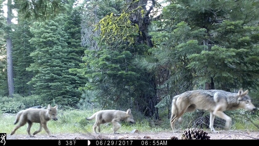 A U.S. Forest Service camera shows a female gray wolf and her pups in Lassen National Forest in Northern California.