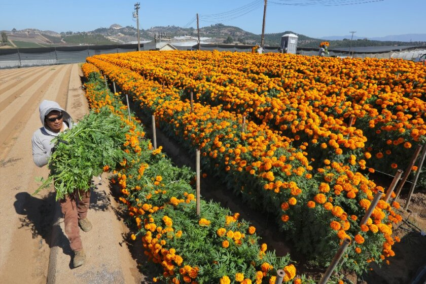 A worker harvests marigolds on a farm in Morro Hills in 2018.