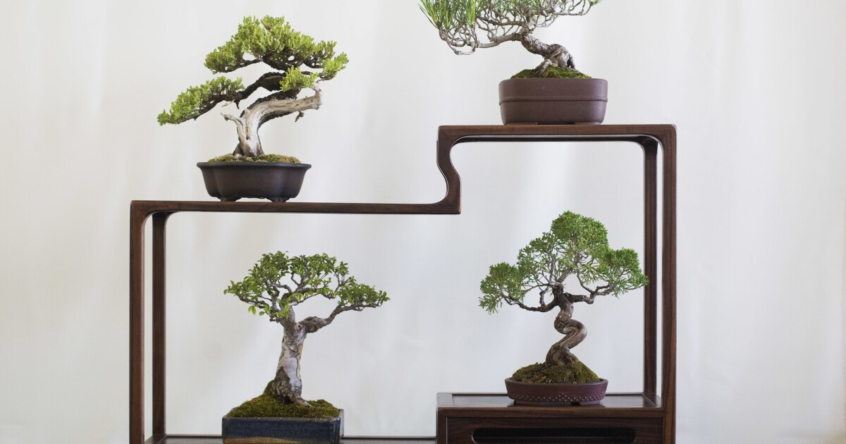 Kofu Kai Club Keeps The Tradition Of Bonsai Alive Los Angeles Times